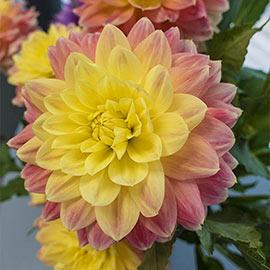 Colorful Decorative Dahlia October Sky