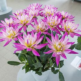 Bright Cactus Dahlia Karma Pink Corona<sup>®</sup>