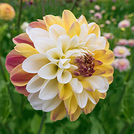 Decorative Dahlia Double Jill