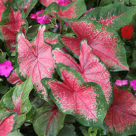 Colorful Shade-Loving Caladium Rosebud