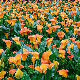 Hybrid Calla Lily Apricot Lady