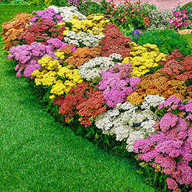 Rainbow Achillea Mix