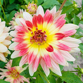 Decorative Dahlia Tropical Sunset