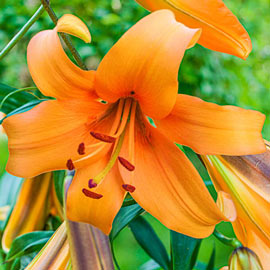 Giant Hybrid Lily Orange Space