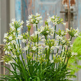 Agapanthus Summer Love White