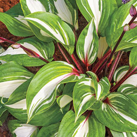 Hosta Raspberry Sundae