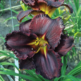 Daylily Black Stockings