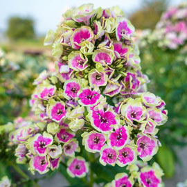Hardy Tall Phlox Orchid Yellow