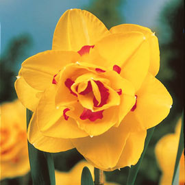 Select Double Daffodil Collection