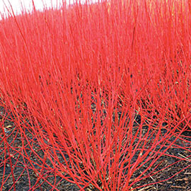 Cardinal Red Twig Dogwood Hedge
