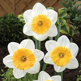 Large Cupped Daffodil Fragrant Breeze