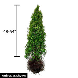 Emerald Green Arborvitae Hedge