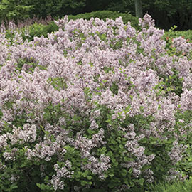 Korean Dwarf Lilac Hedge