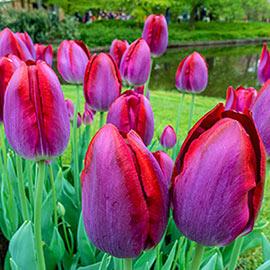 Triumph Tulip Pittsburg