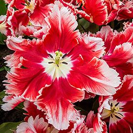 Parrot Tulip Deejay Parrot