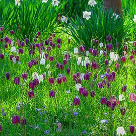 Fritillaria