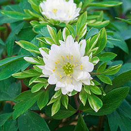 Bracteata Pleniflora Wood Anemone