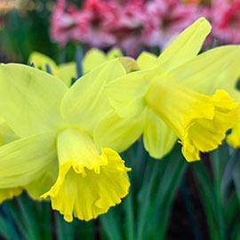 Trumpet Daffodil Pistachio