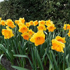 Large Cupped Daffodil Akita