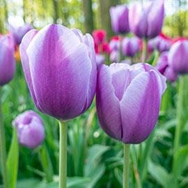 Triumph Tulip Lilac Love