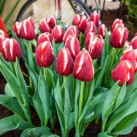 Triumph Tulip Paradise City