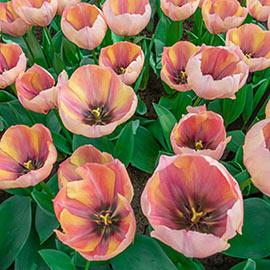 Darwin Hybrid Tulip Salmon Van Eijk