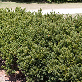 Yew Globe Browni Hedge