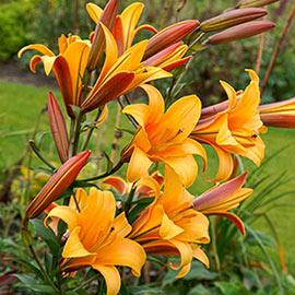 Giant Hybrid Lily Orange Planet