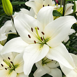 Asiatic Lily Kent