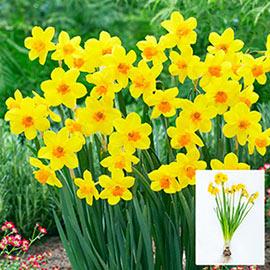 Jonquilla Daffodil Anfield