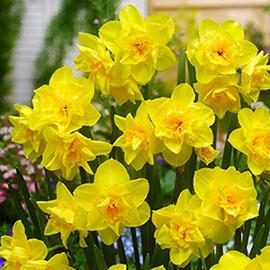 Jonquilla Daffodil Golden Delicious