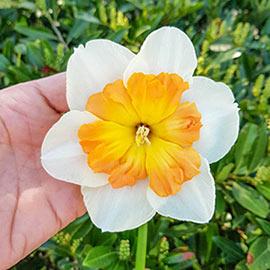 Butterfly Daffodil Zinzi