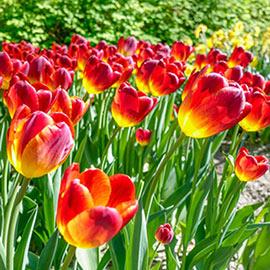Triumph Tulip Amber Glow