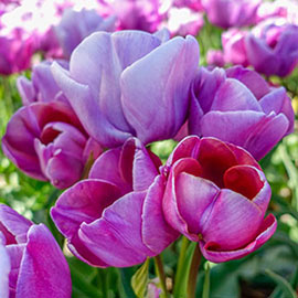 Multi-Flowering Tulip Blue Heaven