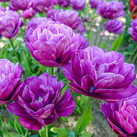 Double Tulip Blue Spectacle