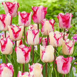Fringed Tulip Raspberry Ripple
