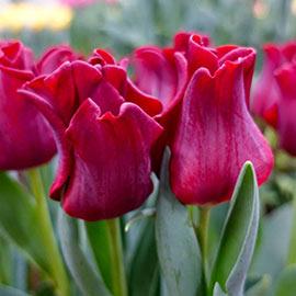 Crown Tulip Red Dress