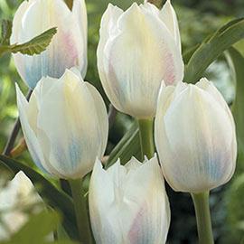 Triumph Tulip Royal Virgin