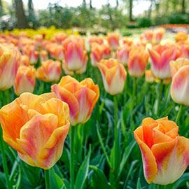 Triumph Tulip Sunrise Dynasty