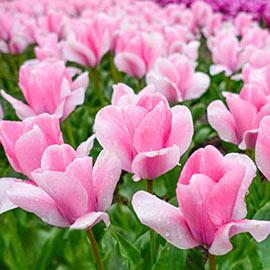 Fosteriana Tulip Sweet Sixteen