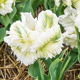 Parrot Tulip White Parrot
