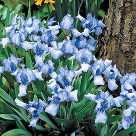 Forever Blue Dwarf Bearded Iris
