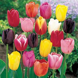 Mixed Tulips Super Bag
