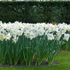 Trumpet Daffodil Mount Hood