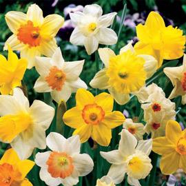 Daffodil Mixed