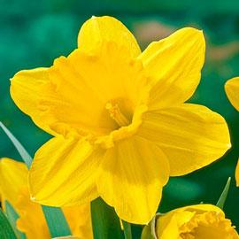 Large Cupped Daffodil Carlton