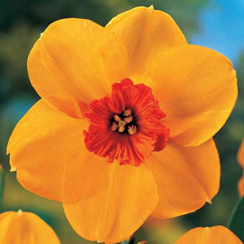 Large Cupped Daffodil Ambergate