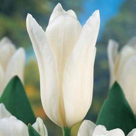 Fosteriana Tulip White Emperor