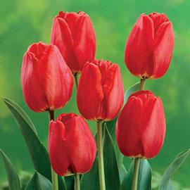 Darwin Hybrid Tulip Apeldoorn