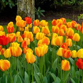 Darwin Hybrid Tulip Beauty of Apeldoorn